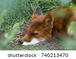 Resting Red Fox In Forest .hot...