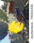 common cactus finch  geospiza...   Shutterstock . vector #740331430