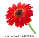 Red gerbera flower. Closeup. Isolated on white - stock photo