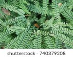 Small photo of Adiantum pedatum northern maidenhair fern or five-fingered fern green plant close up