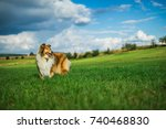 Beautiful Rough Collie At Sunny ...