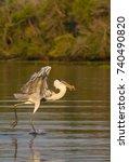 a cocoi heron  ardea cocoi ...   Shutterstock . vector #740490820