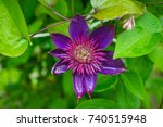 "blooming clematis ""multi blue""... 