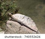 cunningham's skink  egernia...   Shutterstock . vector #740552626