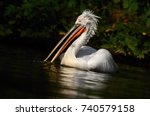 dalmatian pelican  pelecanus... | Shutterstock . vector #740579158