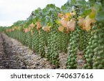 brussel sprouts in dutch field... | Shutterstock . vector #740637616