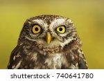 Portrait Of Little Owl Over...