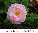 rose  pink | Shutterstock . vector #740670679