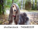 Small photo of Smart dog Afghan hound with ideal data stands in the autumn forest and looks into the camera. A long bang closes her one eye. Picturesque portrait of a dog.