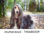 Smart Dog  Afghan Hound With...