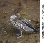 maned goose  chenonetta jubata  ... | Shutterstock . vector #740734006