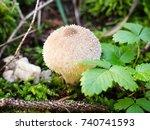 Lycoperdon Perlatum  Puffball ...