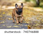 french bulldog walking outdoors ... | Shutterstock . vector #740746888