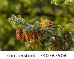 A Robin Is Perched On A Fir...