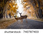 Deer Crossing The Road In...