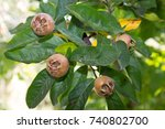 ripe common medlar fruit ... | Shutterstock . vector #740802700