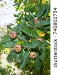Small photo of Medlar fruit Mespilus germanica, Crataegus germanica
