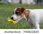 puppy jack russell terrier... | Shutterstock . vector #740822833