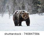 Beautiful Brown Bear Walking I...