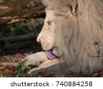 White Lion Licking