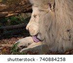 White Lion Licking