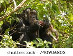 Chimp In Rainforest  Eating...