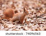 Little cute squirrel on the leaves - stock photo