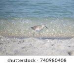 A Sandpiper Walking Along The...