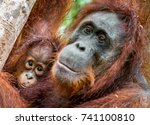 Mother Orangutan And Cub In A...