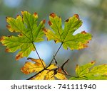 Maple Leaf In A Forest. The...