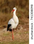 elegant white stork walking in... | Shutterstock . vector #741308098