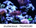leopard wrasse in saltwater... | Shutterstock . vector #741403180