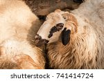two sheep portrait