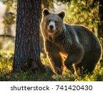 wild adult brown bear   ursus...   Shutterstock . vector #741420430