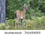 a white tailed deer fawn ... | Shutterstock . vector #741454093