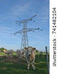 Small photo of Five Charolais cows in a field in Burgundy France near an electricity pylon