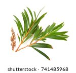 Melaleuca  tea tree  twigs with ...