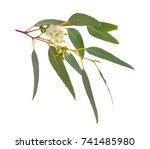 blossoming eucalyptus. isolated ... | Shutterstock . vector #741485980