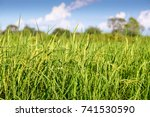 rice field with clear blue sky | Shutterstock . vector #741530590