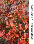 Small photo of The dark, vividly red leaves of an American Cranberry bush during the autumn months.