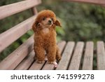 Puppy Poodle Dog Red