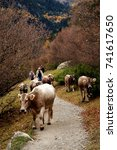 Small photo of Cattles roamed in the country road all the way down to valley in Pyrenees