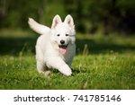 white swiss shepherd cute... | Shutterstock . vector #741785146