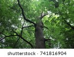 a large oak in the forest... | Shutterstock . vector #741816904