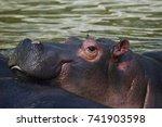 funny muzzle of a hippopotamus... | Shutterstock . vector #741903598