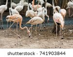 a large flock of pink flamingos | Shutterstock . vector #741903844