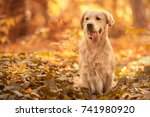beauty golden retriever dog... | Shutterstock . vector #741980920