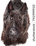 scottish terrier | Shutterstock . vector #741999910