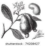 Cashew Or Anacardium...