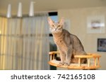 abyssinian cat seated on... | Shutterstock . vector #742165108